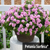 Petunia SurfiniaREG Summer Double Pink