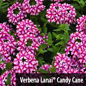 Verbena LanaiREG Candy Cane