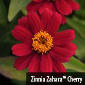 Zinnia Zahara Cherry