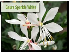 Guara 'Sparkle White'
