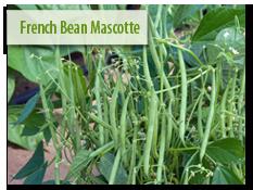 French Bean 'Mascotte'