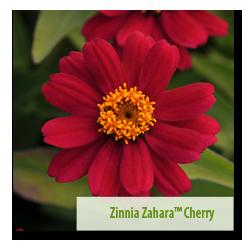 Second Place Winner Zinnia 'Zahara™ Cherry'