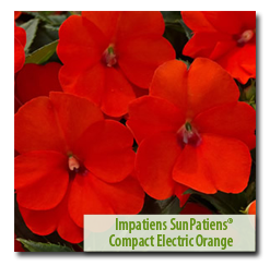 Third Place Winner Impatiens 'SunPatiens®Compact Electric Orange'
