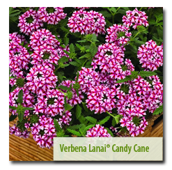 Most Popular! Grand Prize Winner Verbena 'Lanai® Candy Cane'