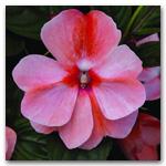 Florific Sweet Orange Hybrid New Guinea Impatiens