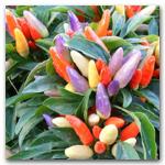 NuMex Easter Ornamental Pepper