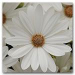Akila Daisy White Hybrid Osteospermum