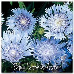Blue Stokes's Aster