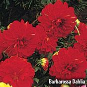 Barbarossa Dahlia