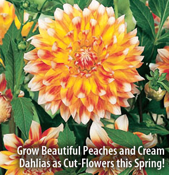 Grow Beautiful Peaches and Cream Dahlia as Cutflowers this Spring!