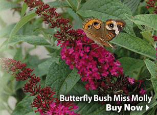 Butterfly Bush Miss Molly -- Buy Now