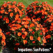 Impatiens SunPatiensREG Compact Electric Orange