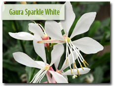 Guara 'Sparkle White'