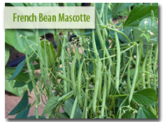 French Bean 'Mascotte'