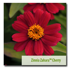 Second Place Winner Zinnia 'Zahara™ Cherry'