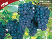 New -- Park Seed Celebrating 145 Years -- Grape Concord Blue